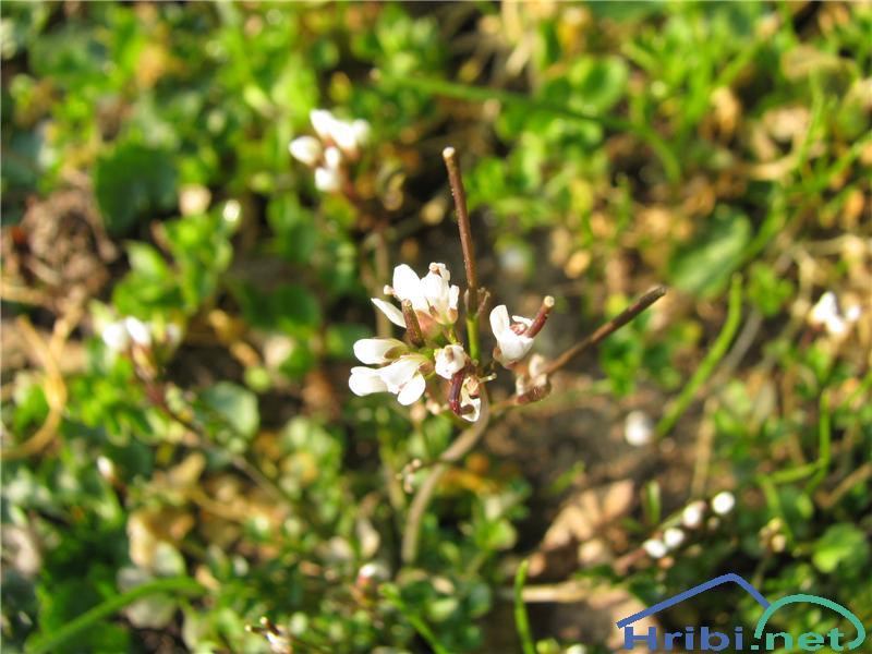 Dlakava penuša (Cardamine hirsuta) - PictureDlakava penuša (Cardamine hirsuta)