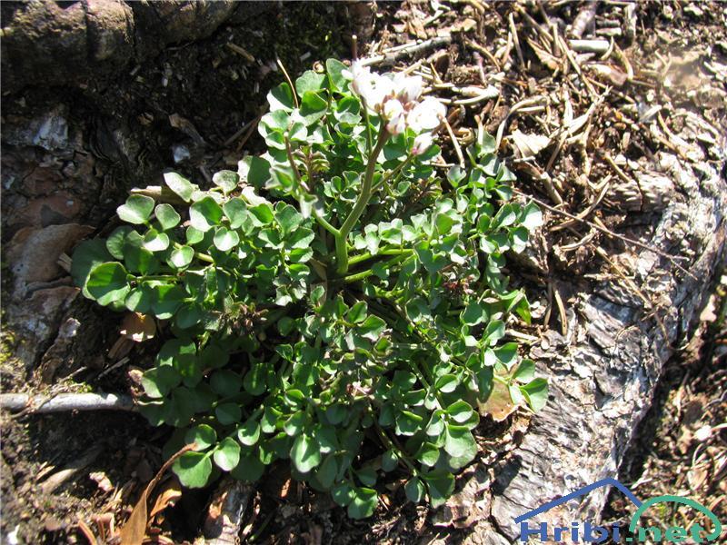 Gozdna penuša (Cardamine flexuosa) - SlikaGozdna penuša (Cardamine flexuosa)