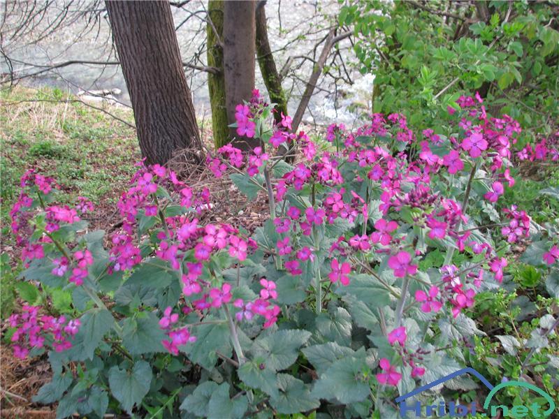 Enoletna srebrenka (Lunaria annua) - PictureEnoletna srebrenka (Lunaria annua)