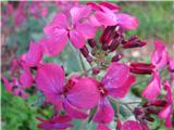 Enoletna srebrenka (Lunaria annua)