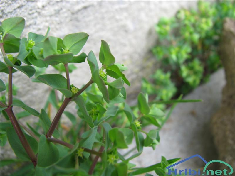 Vrtni mleček (Euphorbia peplus) - SlikaVrtni mleček (Euphorbia peplus)