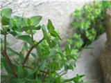 Vrtni mleček (Euphorbia peplus)