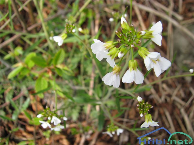 Peskovni penušnjek (Cardaminopsis arenosa) - SlikaPeskovni penušnjek (Cardaminopsis arenosa)