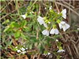 Peskovni penušnjek (Cardaminopsis arenosa)