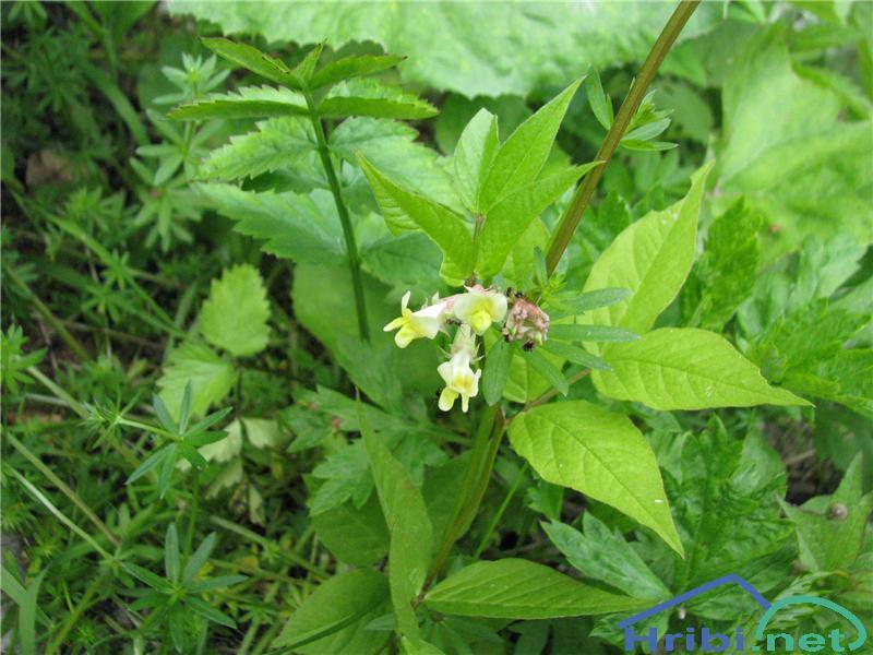 Širokolistna grašica (Vicia oroboides) - PictureŠirokolistna grašica (Vicia oroboides)