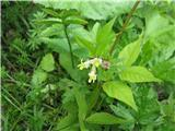 Širokolistna grašica (Vicia oroboides)
