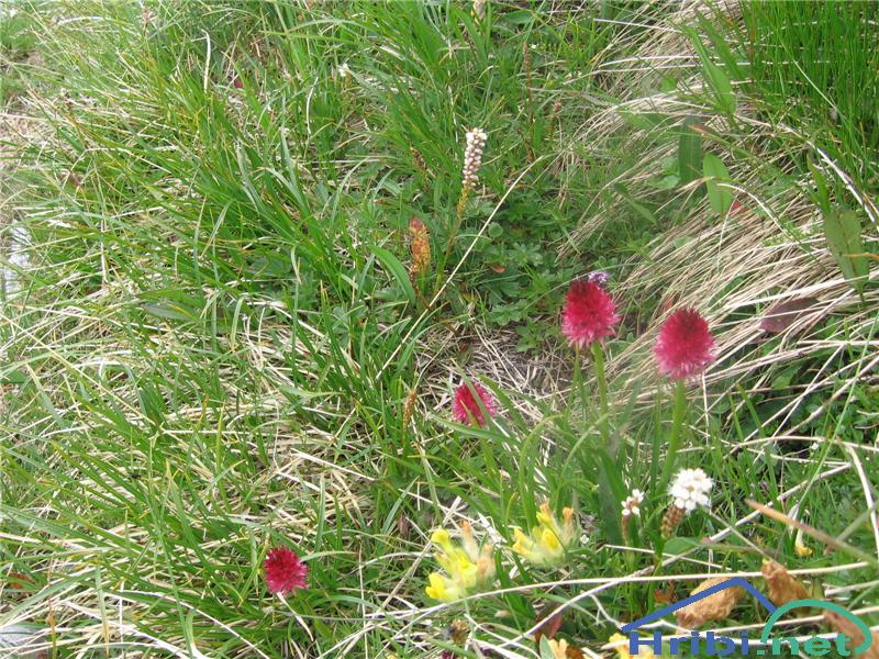 Dvobarvna murka (Nigritella bicolor) - PictureDvobarvna murka (Nigritella bicolor)