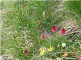 Dvobarvna murka (Nigritella bicolor)