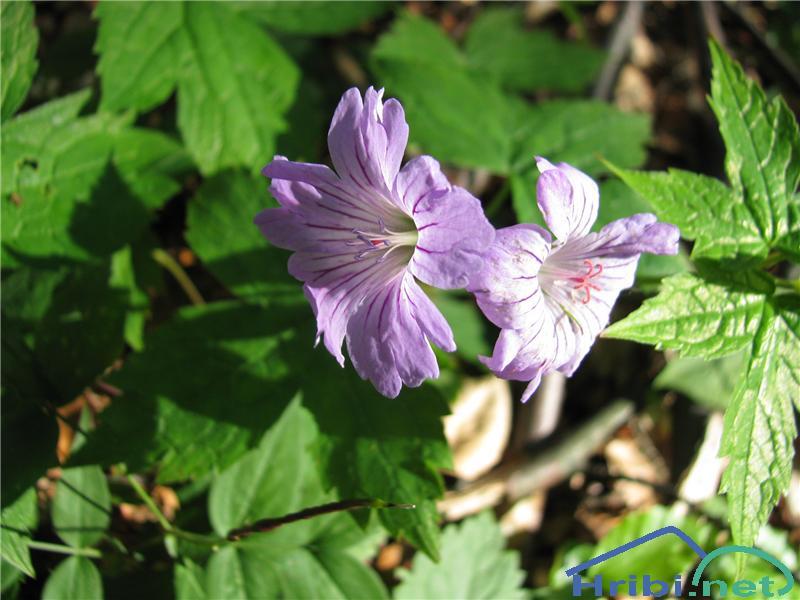 Kolenčasta krvomočnica (Geranium nodosum) - PictureKolenčasta krvomočnica (Geranium nodosum)