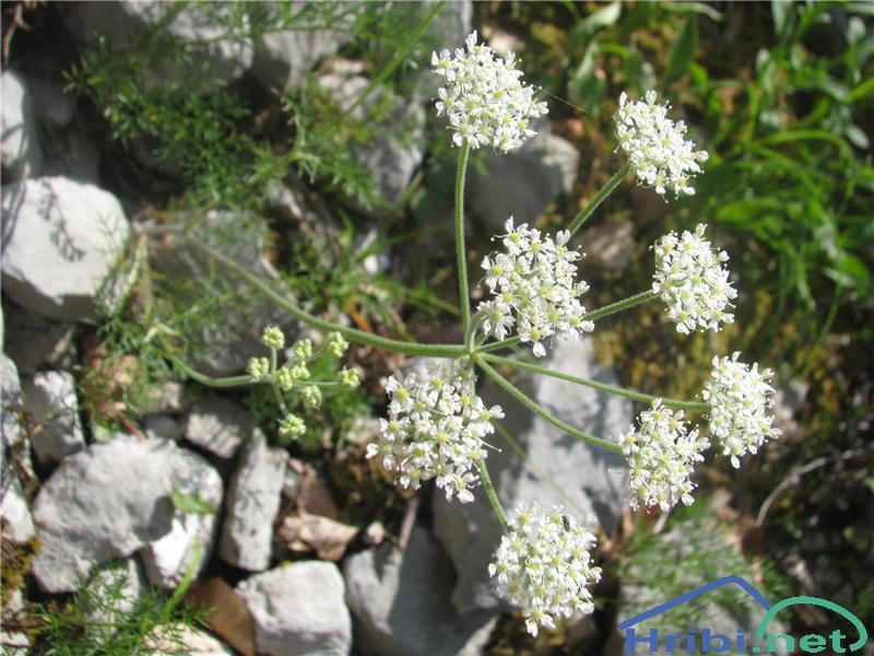 Alpska Jelenka (Athamata Cretensis) - PictureAlpska Jelenka (Athamata Cretensis)