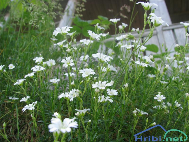 Njivska smiljka (Cerastium arvense) - SlikaNjivska smiljka (Cerastium arvense)