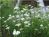 Njivska smiljka (Cerastium arvense)