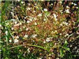 Triprsti kamnokreč (Saxifraga tridactylites)
