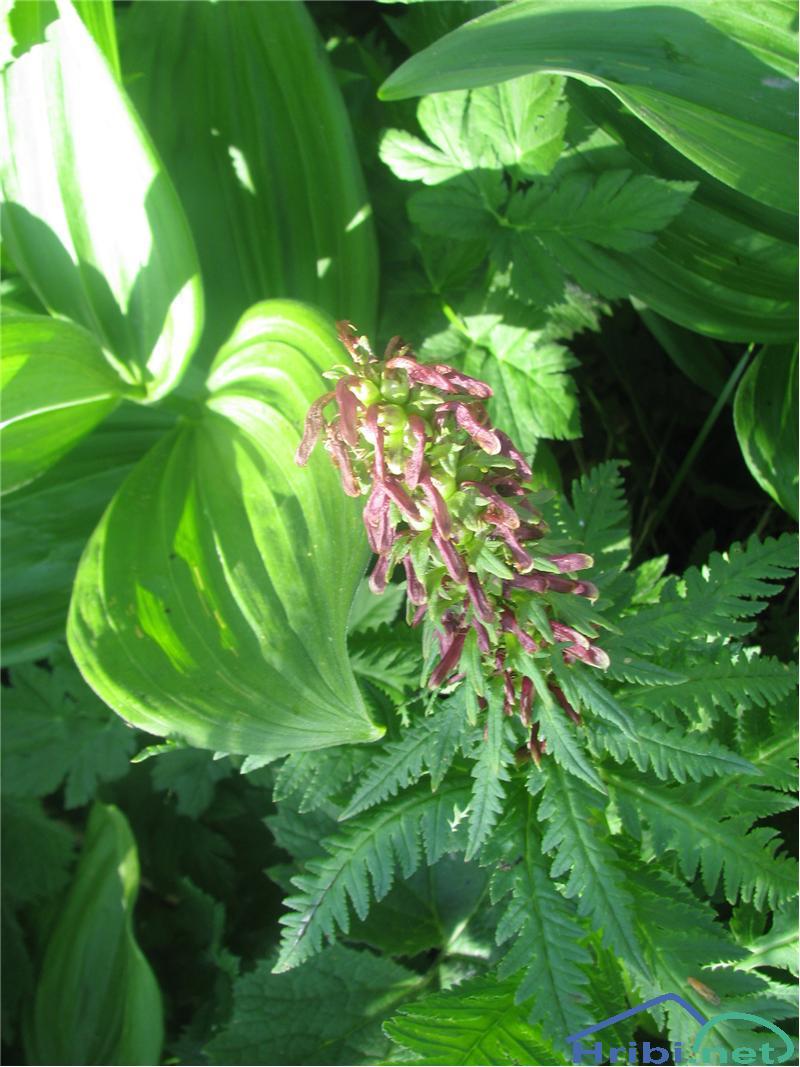 Prisekani ušivec (Pedicularis recutita) - SlikaPrisekani ušivec (Pedicularis recutita)