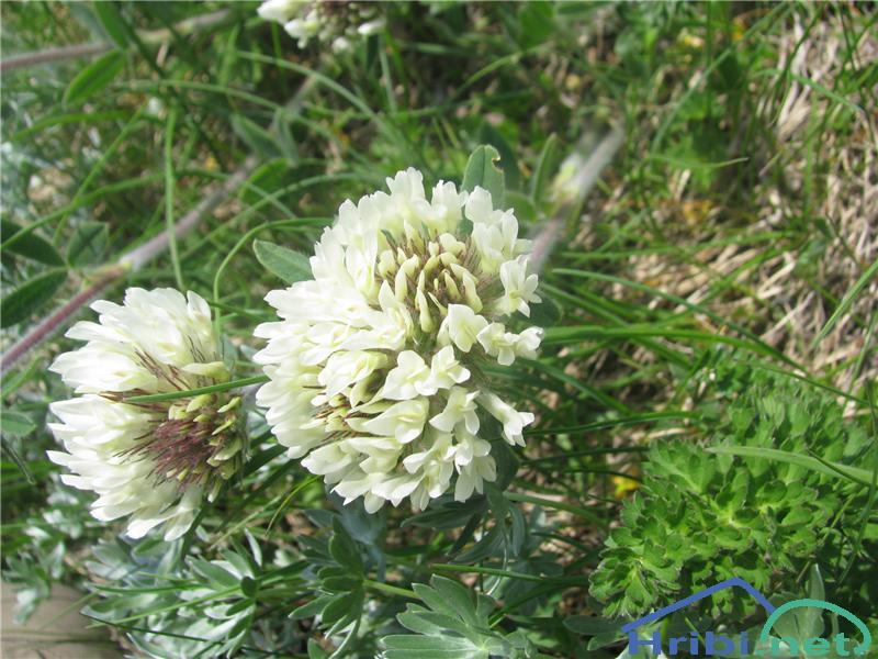 Noriška detelja (Trifolium noricum) - SlikaNoriška detelja (Trifolium noricum)