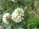 Noriška detelja (Trifolium noricum)
