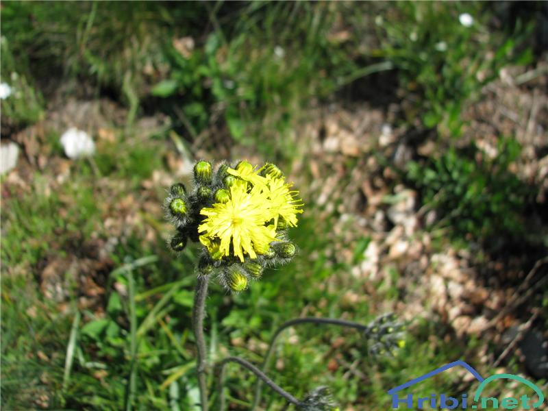 Rušnata škržolica (Hieracium caespitosum) - SlikaRušnata škržolica (Hieracium caespitosum)