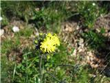 Hieracium caespitosum