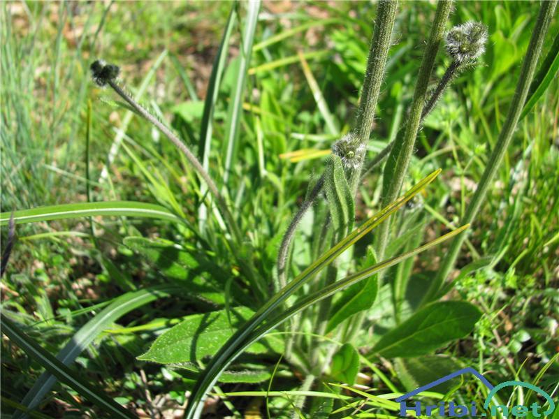 Rušnata škržolica (Hieracium caespitosum) - PictureRušnata škržolica (Hieracium caespitosum)