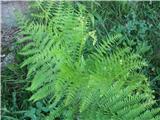 Orlova praprot (Pteridium aquilinum)