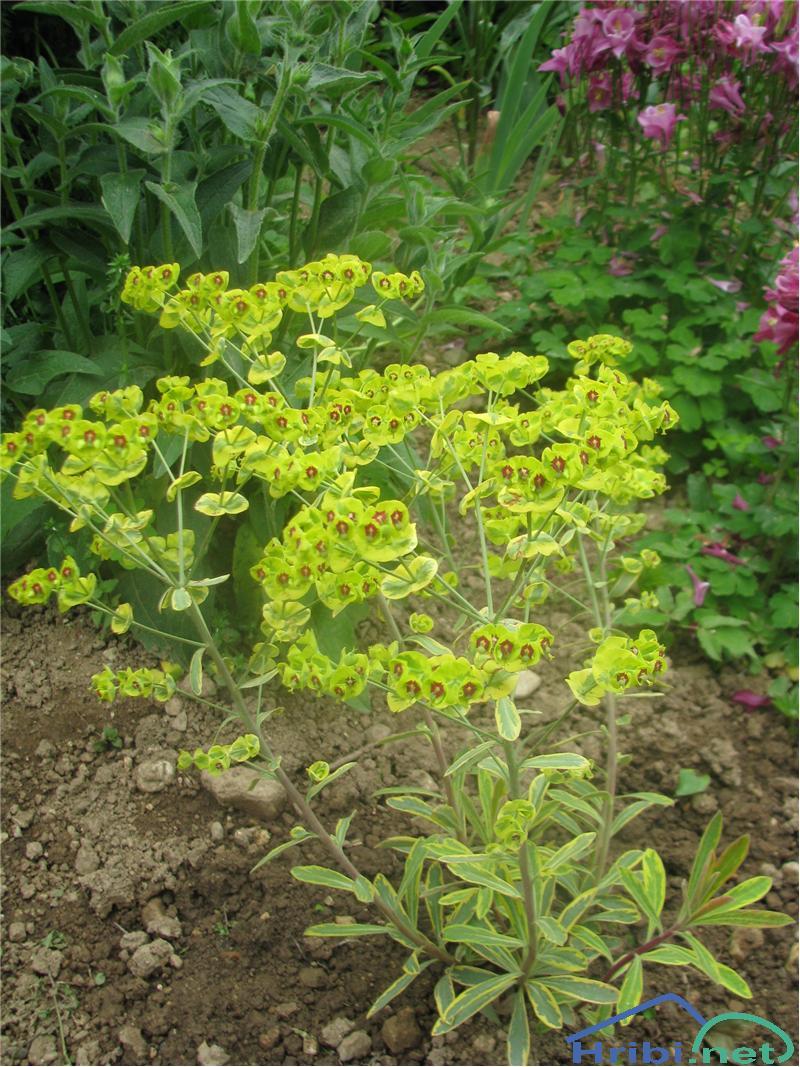 Bleščeči mleček (Euphorbia lucida) - PictureBleščeči mleček (Euphorbia lucida)