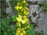 Avstrijski lučnik (Verbascum austriacum)