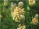 Planinski bor (Pinus mugo)