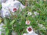 Alpska suholetnica (Erigeron alpinus)