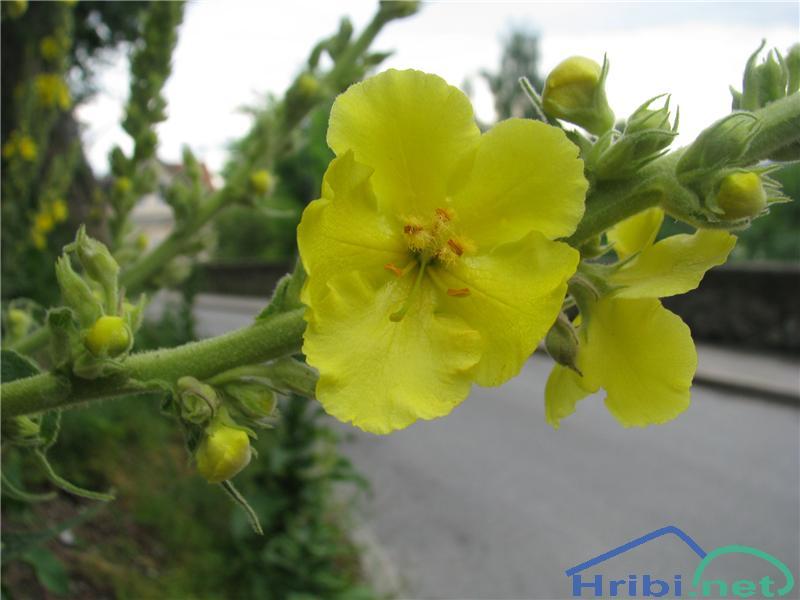 Drobnocvetni lučnik (Verbascum thapsus) - PictureDrobnocvetni lučnik (Verbascum thapsus)