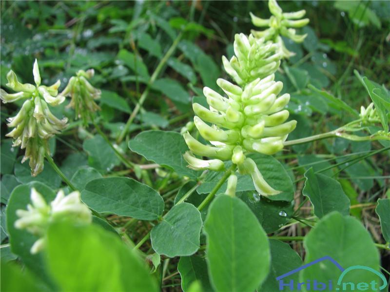 Sladki grahovec (Astragalus glycyphyllos) - SlikaSladki grahovec (Astragalus glycyphyllos)