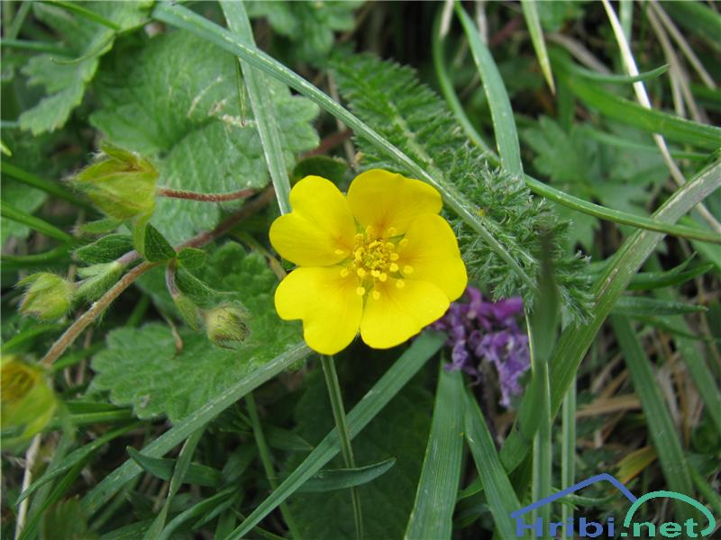 Crantzev petoprstnik (Potentilla crantzii) - PictureCrantzev petoprstnik (Potentilla crantzii)