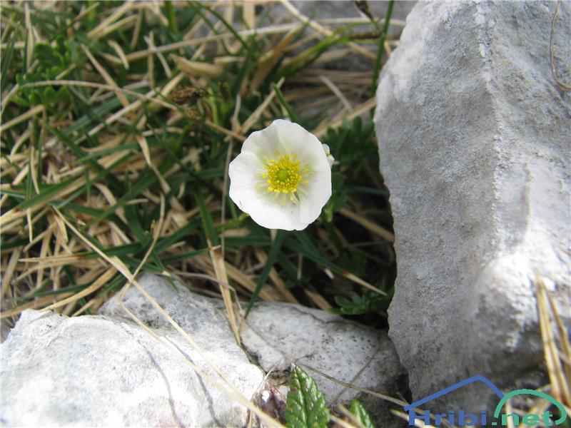 Alpska zlatica (Ranunculus alpestris) - SlikaAlpska zlatica (Ranunculus alpestris)