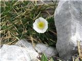 Alpska zlatica (Ranunculus alpestris)