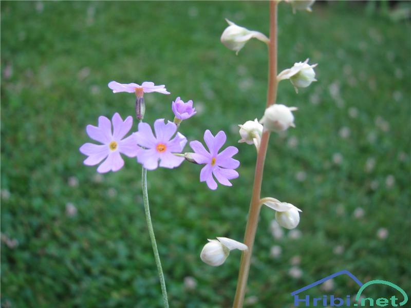 Okroglolistna zelenka (Pyrola rotundifolia) - PictureOkroglolistna zelenka (Pyrola rotundifolia), desna rožica.