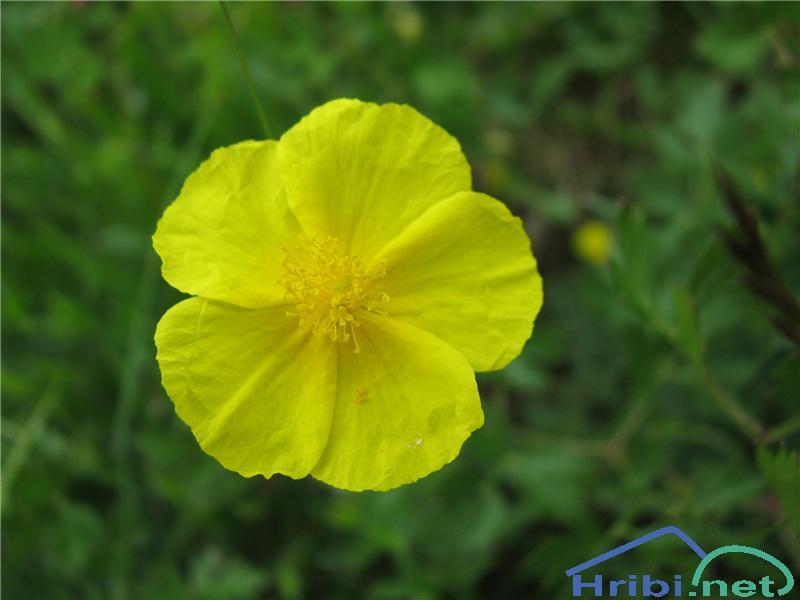 Velecvetni popon (Helianthemum grandiflorum) - PictureVelecvetni popon (Helianthemum grandiflorum)