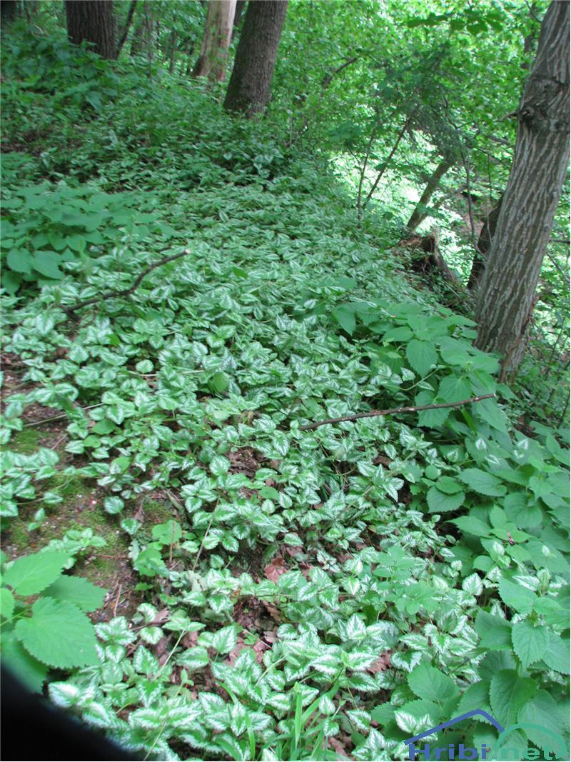 Rumena mrtva kopriva (Lamium galeobdelon) - SlikaRumena mrtva kopriva (Lamium galeobdelon)