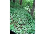 Rumena mrtva kopriva (Lamium galeobdelon)