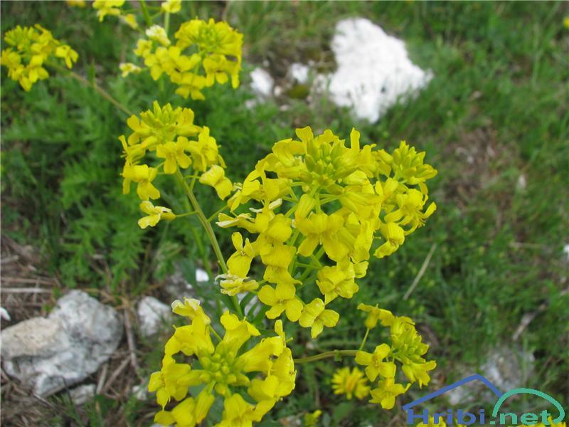 Kranjski šebenik (Erysimum carniolicum) - PictureKranjski šebenik (Erysimum carniolicum)