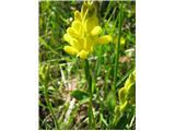 Navadna prevezanka (Chamaespartium sagittale)