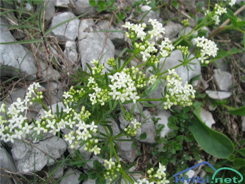 Bela lakota (Galium album ssp. album) - SlikaBela lakota (Galium album ssp. album)