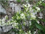 Bela lakota (Galium album ssp. album)