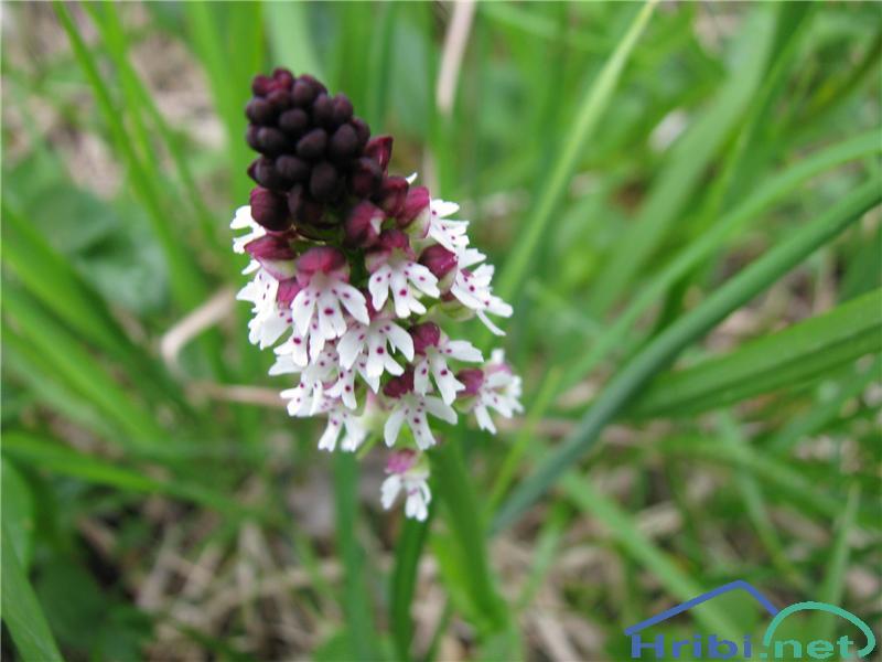 Poletna kukavica (Orchis ustulata ssp. aestivalis) - SlikaPoletna kukavica (Orchis ustulata ssp. aestivalis)