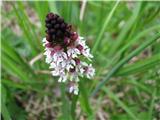 Orchis ustulata ssp. aestivalis