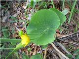 Opojna zlatica (Ranunculus thora)
