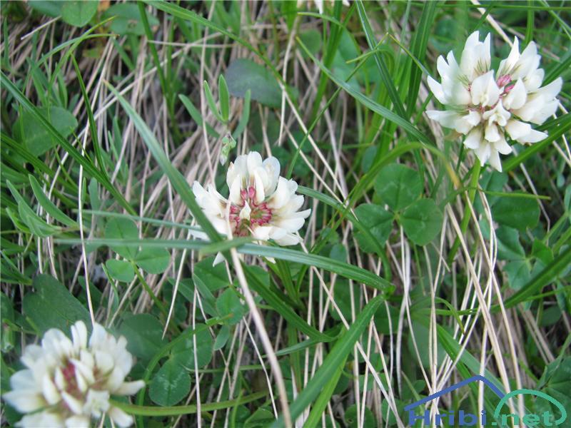 Bleda detelja (Trifolium pallescens) - SlikaBleda detelja (Trifolium pallescens)