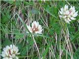 Bleda detelja (Trifolium pallescens)