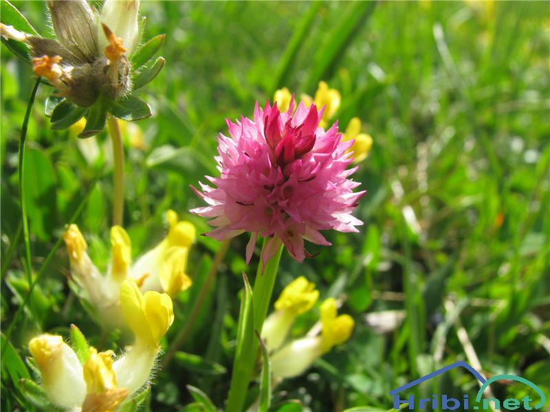 Widderova murka (Nigritella widderi) - PictureWidderova murka (Nigritella widderi)