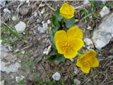 Izrodna zlatica (Ranunculus hybridus)