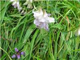 Alpski grahovec (Astragalus alpinus)