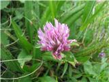 Trifolium thalii